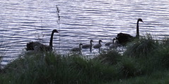 They paddle past me (spelio) Tags: yerrabipond evening dusk canberra act sep 2016 walk swans cygnets birds wildlife