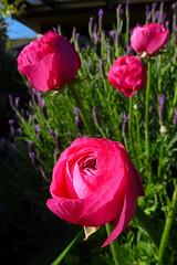 Ranunculus and Lavender (dgardenia) Tags: rose flower macro outdoor garden nature springbulbs insect bee jasmine iris camellia ranunculus potplant