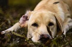 (Greczula Levente) Tags: helios44 helios44m4 m42 labrador labradorretriever