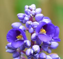 DSC_0028 (RUMTIME) Tags: flowers flower nature queensland about mad coochiemudlo orea flowerotica anthi florarte silveramazingdetail