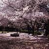 (Ogipix) Tags: pink flower square squareformat 大阪 桜 osaka 花 自然 ピンク iphoneography uploaded:by=instagram