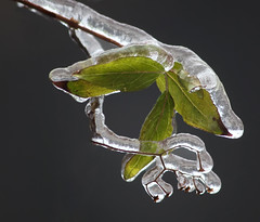 Iced leaves (dbullens) Tags: ice leaves yahoo google icestorm icicle icicles bing worcester worcesterma bigmomma friendlychallenges thechallengefactory mygearandme flickrbronzetrophygroup flickrstruereflection2 allofnatureswildlifelevel1 rememberthatmomentlevel1 rememberthatmomentlevel2