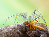 Nhện cỏ săn mồi EX (thienbs) Tags: macro insect spider thienbs