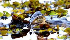 Caiman (livetowander) Tags: brazil lake southamerica nature brasil lumix reptile wildlife natureza panasonic crocodile tropical tropics caiman pantanal equatorial matogrossodosul jacar amriquedusud caimanyacare neotropical fz200 greenheadhorsefly embiaralodge panasonicfz200 panasonicdmcfz200 jaguarears lphide