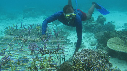 A farmer removed algae and other weeds from his coral farm. Photo by Wade Fairley, 2012.