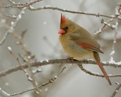 Cardinal in the snow (snooker2009) Tags: winter red snow bird fall nature birds outdoors cardinal wildlife getty avianexcellence thewonderfulworldofbirds dailynaturetnc12 photoofthedaynwf12