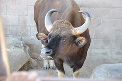 Angry Bull (Randi Deuro) Tags: animal animals zoo photo nikon photos wildlife bull unlimited d90 animaleyes unlimitedphotos animallookingatyou