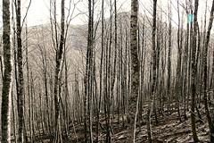 Bosque de hayas en el collado de Urkiaga. Al fondo el Adi (MSECO) Tags: adi beech haya hayedo urkiaga
