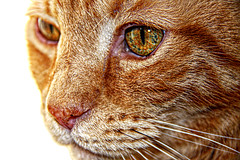 Sad Squeegee (Chris C. Crowley) Tags: cat orangecat feline whiskers freckles pinknose gingercat chriscrowley celticsong22 sadsqueegee squeegeesambereyes mysqueegeeseyes