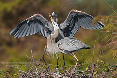 Great Blue Herons & Chick - 2524 (floridanaturephotography) Tags: heron nest florida pair chick wako delraybeach hatchling greatblue gbh