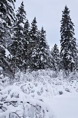 Trail into Edwards Lake, RMNP, Manitoba, Canada (Warren Justice) Tags: winter snow outdoors bush snowy wideangle manitoba handheld snowshoeing canon5d wintertime heavy picturesque dauphin manualfocus ridingmountainnationalpark snowcovered snowscene parkscanada winterscene northcountry heavysnow deepsnow hwy10 borealforest greatoutdoors coollight hikingtrails whitespruce wideanglephotography canon24mmf14 snowladen outdoorlighting manitobacanada snowybranches iceandsnow manitobatourism northernforest snowshoetrail winteryscene canadiannationalparks manitobalakes edwardslake outdoorshot fluffysnow dauphinmanitoba ef24mmf14 canadianwilderness thickbush thickvegetation manitobarecreation manitobaparks kippansmill friendsofridingmountain edwardslakeridingmountainnationalpark northernscene