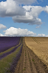 Parallel Lines (gracust) Tags: flowers floral field purple lavender mauve hertfordshire parallellines hitchinlavender