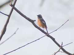 Daurian Redstart (Polotaro) Tags: bird nature pen olympus  zuiko ep1      fzuiko300mmf45