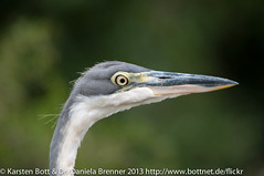 """Grey Heron • <a style=""""font-size:0.8em;"""" href=""""http://www.flickr.com/photos/56545707@N05/8364310773/"""" target=""""_blank"""">View on Flickr</a>"""