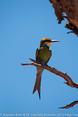 "Swallowtailed Bee Eater • <a style=""font-size:0.8em;"" href=""http://www.flickr.com/photos/56545707@N05/8365370960/"" target=""_blank"">View on Flickr</a>"