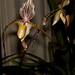 Paph. St. Swithin – Merle Robboy