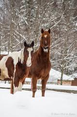 (Sous l'Oeil de Sylvie) Tags: morning winter snow animal rural cheval pentax hiver january qubec neige campagne janvier matin chevaux beauce 2013 k30 ruralit beauceville 55300mm sousloeildesylvie