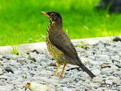 Zorzal (elaya-) Tags: chile birds de aves punta local arenas magallanes chilean turdus zorzal magellanicus falcklandii