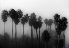 Fog in Palm Trees, #1 (Eric Lassiter) Tags: california blackandwhite santabarbara fog palmtrees fanpalms nikefex mexicanfanpalms santabarbarafog