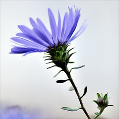 Blue Flower (Wes Iversen) Tags: flowers nature chicagobotanicgarden hcs tokina100mmf28atxprod clichsaturday