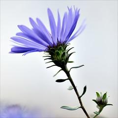 Blue Flower (Wes Iversen) Tags: flowers nature chicagobotanicgarden hcs tokina100mmf28atxprod clichsaturday