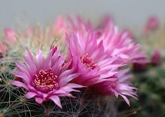 Mammillaria zeilmanniana Boed. (1931) (asac_cactus) Tags: cactus mammillaria zeilmanniana asac