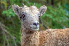 Little Ram (818PathFinder) Tags: banffnationalpark bighornsheep