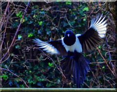 Spread my wings.... (littlestschnauzer) Tags: uk winter england food white motion black cold west bird nature birds breakfast rural garden spread countryside flying wings nikon village open shot action wildlife yorkshire north flight wide feathers freezing landing freeze magpie february flapping airborne emley 2013 d5000 elementsorganizer11