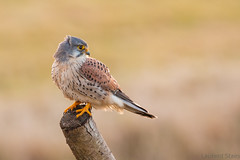 Kestrel looking back (LaurentSt) Tags: wild bird nature animal wildlife raptor prey kestrel tinnunculus falco torenvalk faucon crcerelle thewonderfulworldofbirds
