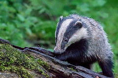 Badger (parry101) Tags: dinefwr park llandeilo camarthenshire south west wales badger badgers omnivore omnivores nature european europeanbadger