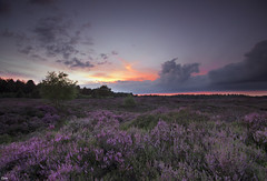 First purple heather (Jessie van Weert) Tags: outdoor landscape field sky sunset wideangle wonderful warm heather heath purple paars evening avond zonsondergang sunshine sun light clouds cloudy augustus explore extreme dynamic dynamisch mysterious red yellow gorgeous groothoek sigma nikon d3100 1020 nature natuur natuurmonumenten staatsbosbeheer hill heuvel nice netherlands brabant