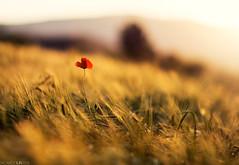(Photographordie) Tags: poppy amapola atardecer samyangasphericalif85mmf14 olympuspenepm2 sunset wheatfield campodetrigo 85mm bokeh dof