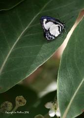 Imgp2560ac (Lee Mullins) Tags: australia smallgreenbandedblue butterflybutterfliespsychonotis caeliusglasshouse mountains queensland