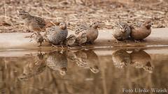 0020 Dschungelwachtel - Jungle Bush-quail (uwizisk) Tags: dschungelwachtel perdiculaasiatica india indien junglebushquail ranthambhorenationalpark vgel birds