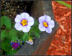Purple Flowers - Photo Taken And Edited by STEVEN CHATEAUNEUF - July 29, 2016 (snc145) Tags: summer seasons outdoor nature flowers leaves plant bark editedimage picasa3editing photo july292016 stevenchateauneuf autofocus thisphotorocks