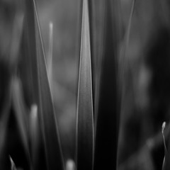 Marshland Grasses 033 (noahbw) Tags: d5000 dof nikon prairiewolfsloughforestpreserve abstract blackwhite blackandwhite blur bw depthoffield grass landscape leaves light marshland minimal minimalism monochrome natural noahbw prairie shadow spring square wetlands