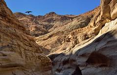 A Raven Flying Above Mosaic Canyon (Death Valley National Park) (thor_mark ) Tags: birdflying bird birdinflight blueskies canvas capturenx2edited colorefexpro day4 deathvalleynationalpark desertlandscape greatbasinranges layersofrocks lookingsouth mosaiccanyon mountains mountainsindistance mountainsoffindistance nature nikond800e northsideoftuckimountain panamintrange portfolio project365 raven raveninflight slotcanyon smoothpolishedmarblewalls triptodeathvalleyandcalifornia tuckimountain westgreatbasinranges deathvalley california unitedstates