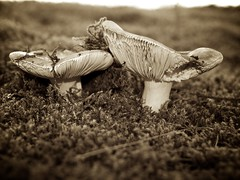 Mushrooms (de.bu) Tags: pilze eifel nationalpark wildlife sepia closeup mushroom vogelsang rursee