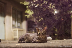 (Shiori Hosomi) Tags: 2016 august japan tokyo 23  cats mammalia       carnivora felidae   felis  noctivagant noctuary nocturnal night