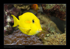 FRANolivaceus1077_160612 (kactusficus) Tags: marine reef aquarium francis surgeonfish acantturidae tang chirurgien acanthurus olivaceus pastis