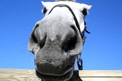 Samira (Amlie Kibler) Tags: samira horse horses horseriding nature natural sport summer sky beautiful