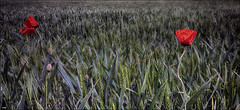 Amapolas entre el trigo (candi...) Tags: amapolas trigo naturaleza flor campo siembra tufototureto