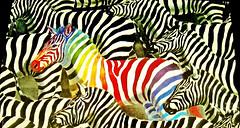 stand out in the crowd :)  HSS (muffett68 ) Tags: rainbowzebra standoutinacrowd surreal hss slidersunday ansh scavenger11 likeafishoutofwater