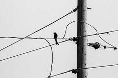 Urban life of birds (Mijan Rashid) Tags: blackwhite black white bird birdsofbangladesh birds bangladesh asia asian canon canon1100d cable urban city bw mono outdoor sky southasia pillar electricity
