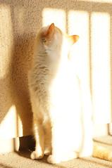 Sun Loving (little  lovelies) Tags: mello flame red point siamese cat kitty cute sun loving bathing