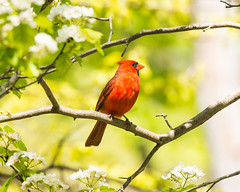 Northern Cardinal (bothamca1) Tags: northern cardinal