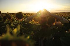 Summer mood ... (Yonatan Souid) Tags: sunflower field portrait light atmosphere allislight golden goldenhour beautiful woman summer mood peaceful people photography passion