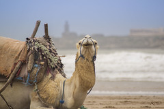 Urban Transport (Ricky Bay) Tags: essaouira camel morocco look