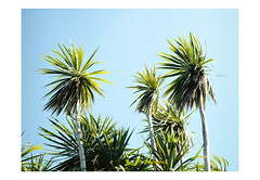 (harald wawrzyniak) Tags: analogue analog film scan kodak portra mamiya 645af palm tree palmtrees ireland eire ire travel 2016 harald wawrzyniak medium format nature blue green