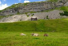 Auf der Alp (Mani Roos) Tags: melchseefrutt bonistock alp khe cows landschaft landscape berge alpen alps mountain natur grn frieden ruhe realax canoneos7dmarkii sigma1770mm28 maniroos schweiz switzerland